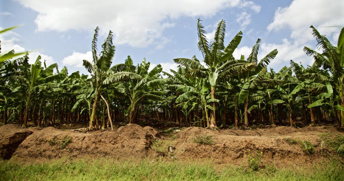 Agritrans Bananas